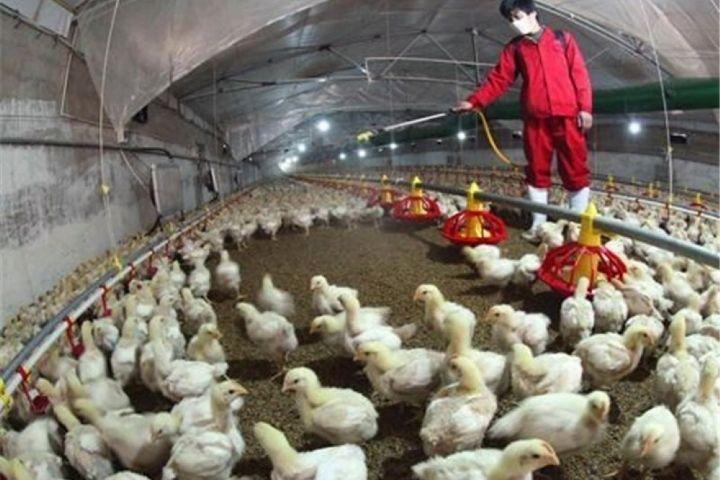 در«نیم نگاه» ببرسی می شود: چگونگی مقابله با خسارتهای آنفولانزای پرندگان