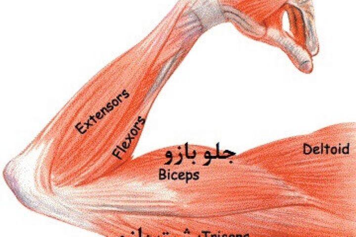 چگونه از تحلیل عضلات جلوگیری کنیم؟