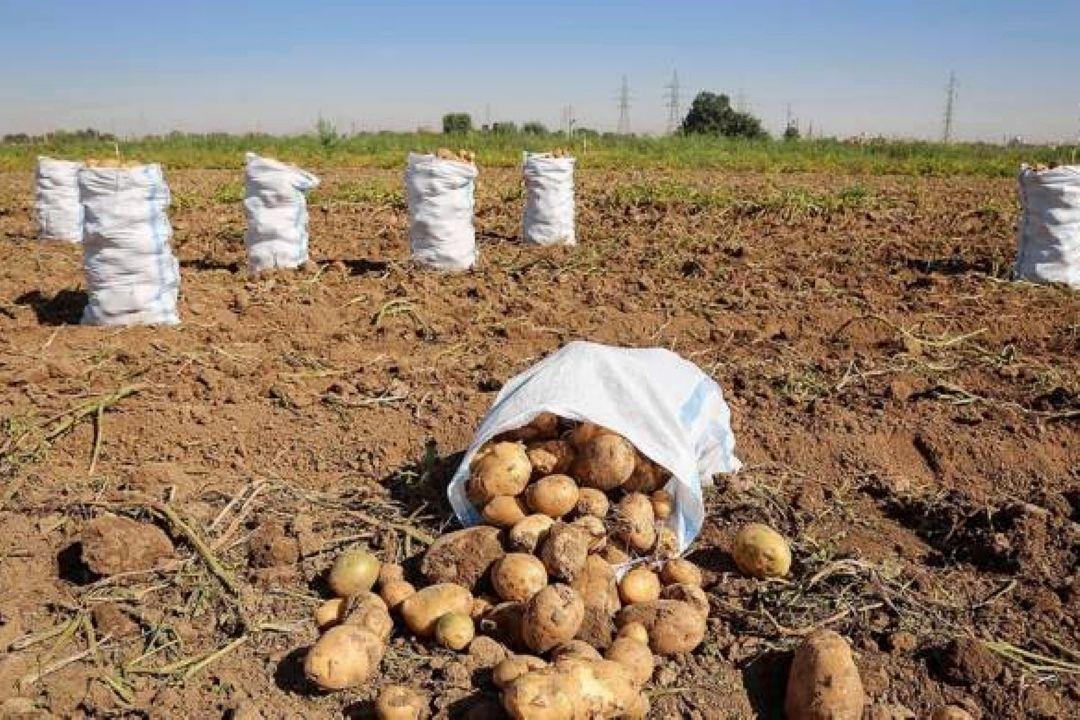 خرید تضمینی حدود 6 هزار تن سیب زمینی از كشاورزان  ...