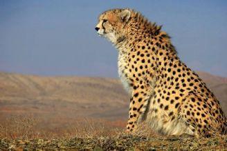 یوزپلنگ ایرانی را چقدر می شناسید؟