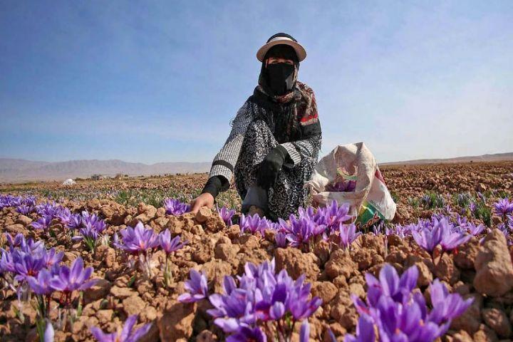 تولید زعفران در استان گیلان