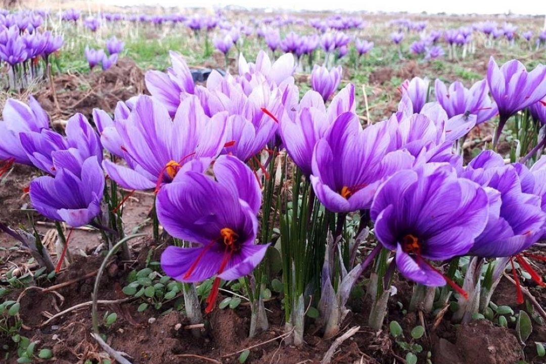راه اندازی زنجیره تولید زعفران در شمال شرق كشور