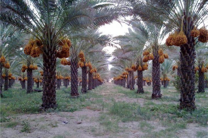 استفاده از روش های آبیاری نوین در نخلستان های استان بوشهر