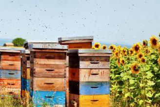 انحصار چهل ساله تولید عسل توسط مافیای زنبور!
