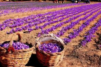 زعفران در تمام استانهای كشور كشت می شود
