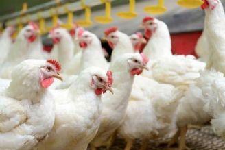 مرغداران 70درصد نهاده را از بازارآزاد تامین می کنند