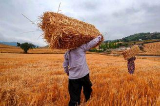 رشد 10درصدی خرید گندم از كشاورزان نسبت به سال گذشته