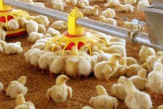 دردسر جوجههای یک روزه برای مسئولین/ متضررشدن تولیدکنندگان راست یا دروغ!