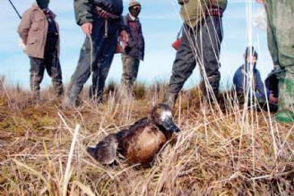 صید غیرقانونی پرندگان 45 میلیارد تومان برای صیادان درآمد دارد