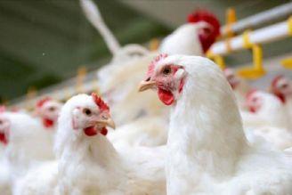 مرغداران نقشی در افزایش قیمت مرغ ندارند