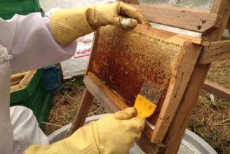 شهرستان گرمی قطب تولید  عسل در كشور