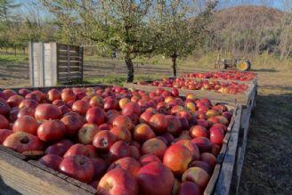 سهم بازار صادرات ایران از سیب