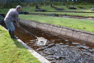 تولید بیش از 6 میلیون تن تیلاپیا در جهان