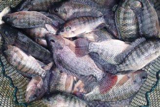 ماهی تیلاپیا گونهای مهاجم و خطر جدی برای تنوع زیستی