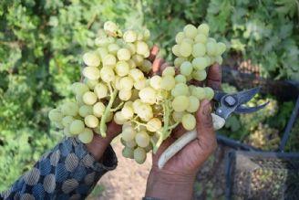 پیش بینی برداشت 253 هزار تن انگور از باغ های آذربایجان غربی